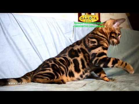 Boy 4 Black, Dakota Gold, bengal cat, cattery, kitten, 08122018