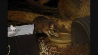 Mammals of the World: Malagasy Giant Rat