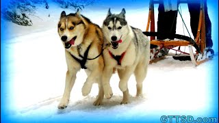 Jingle Bells Sled Dog Style! Siberian Husky Jingle Dogs