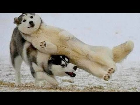 Funny dogs – Funny dog videos – Smart dogs 2015