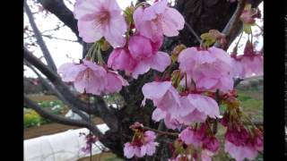 光山小学校付近の桜と東武越生線:2016年3月26日:埼玉県入間郡毛呂山町旭台