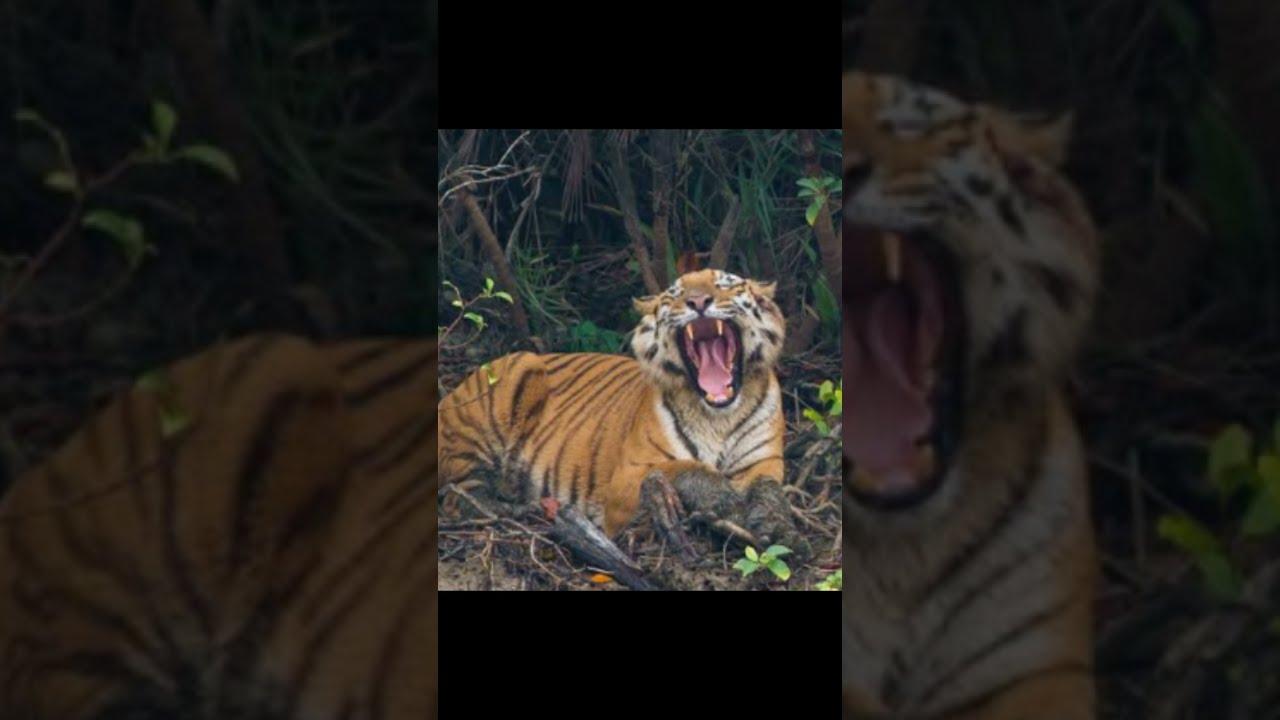 Download दुनिया Ka सबसे KhatarnakTiger😱😵|| Interesting Facts about Tiger||#shorts #Factland #TigerFacts ||
