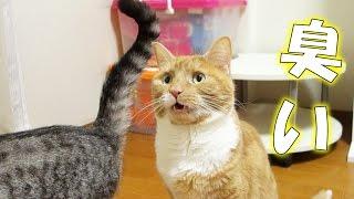 妹猫のお尻の匂いを嗅いで何度もフレーメン反応をする猫の様子です。 臭...