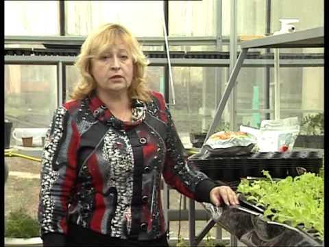 Вопрос: Сколько времени нужно, чтобы вырастить салат?