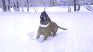 Мой Пёс обожает снег. Бульмастиф ;)