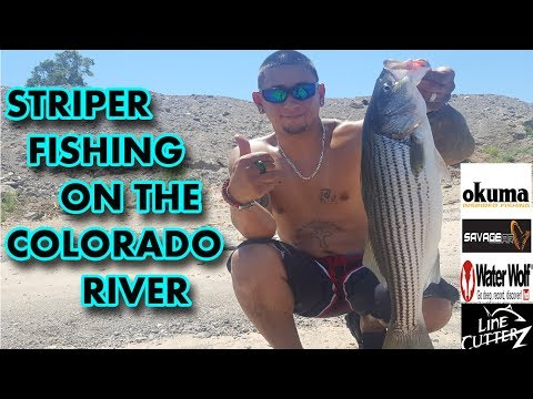 Summer striper fishing is crazy on the river right now (Colorado River)