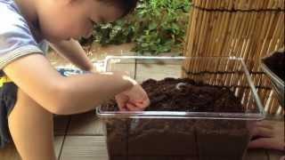 保育園で育てていたカブトムシがかなり子孫を繁栄しているとは聞いてま...
