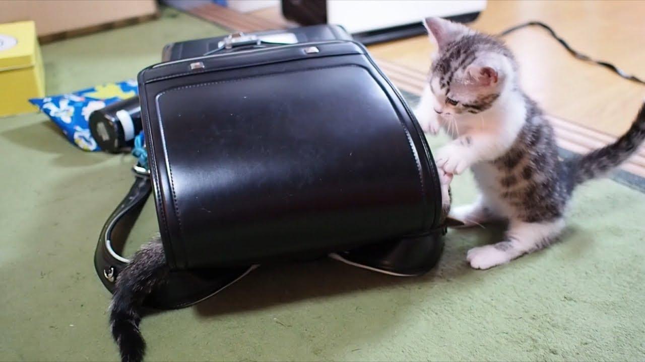 ランドセルで遊ぶ子猫がかわいい【今日の子猫35】