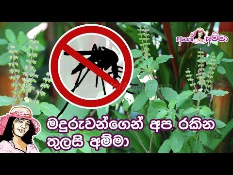මදුරුවන්ගෙන් අප රකින තුලසි අම්මා(මදුරුතලා)Thulasi plant against mosquitoes & it's benefits