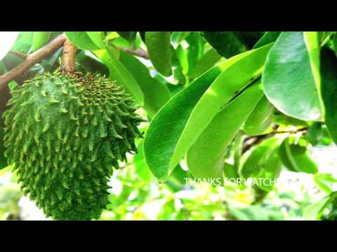 Cancer Treatment | Cure Cancer With Soursop Leaves And Fruit