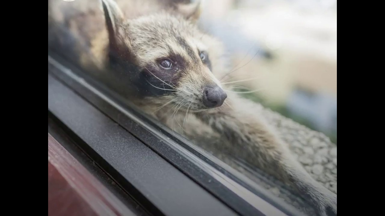 racoon on the rise youtube