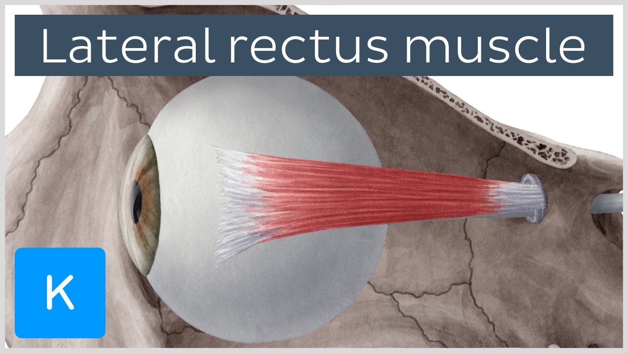 Lateral rectus muscle of the eye (musculus rectus lateralis bulbi ...