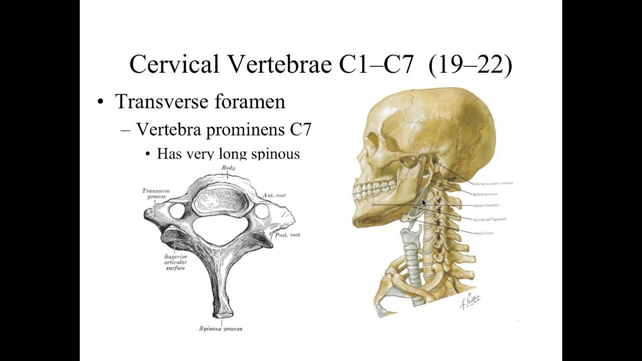 Skeletal Lab List 4 Thorax Vertebral Column Youtube