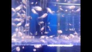 孵化後12日目 キレ嫁♀がしっかり稚魚を守っています。何かの拍子に親が...