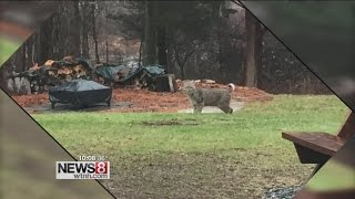 Three people in hospital after a bobcat attack colchester