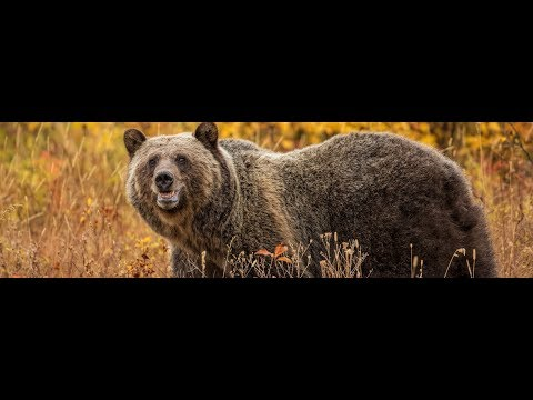Court Battle: Delisting the Yellowstone Grizzly Bear