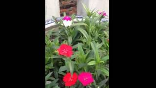 Trồng hoa Cẩm chướng tại nhà đơn giản