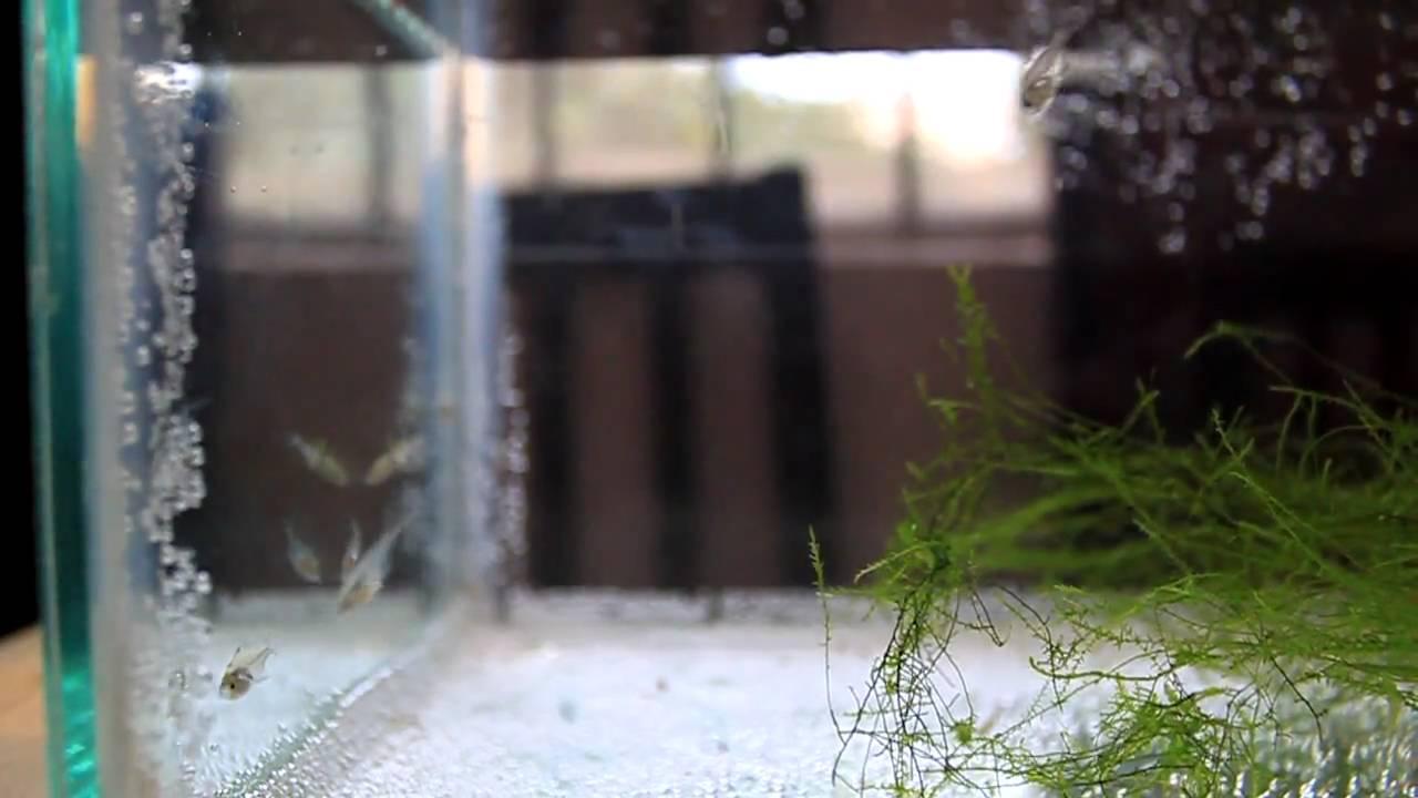 Wild Caught Chanda Ranga Fry (Indian Glass fish)