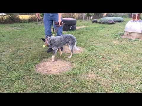 Blue Heeler starts picking object up, Retrieving with Australian Cattle Dog