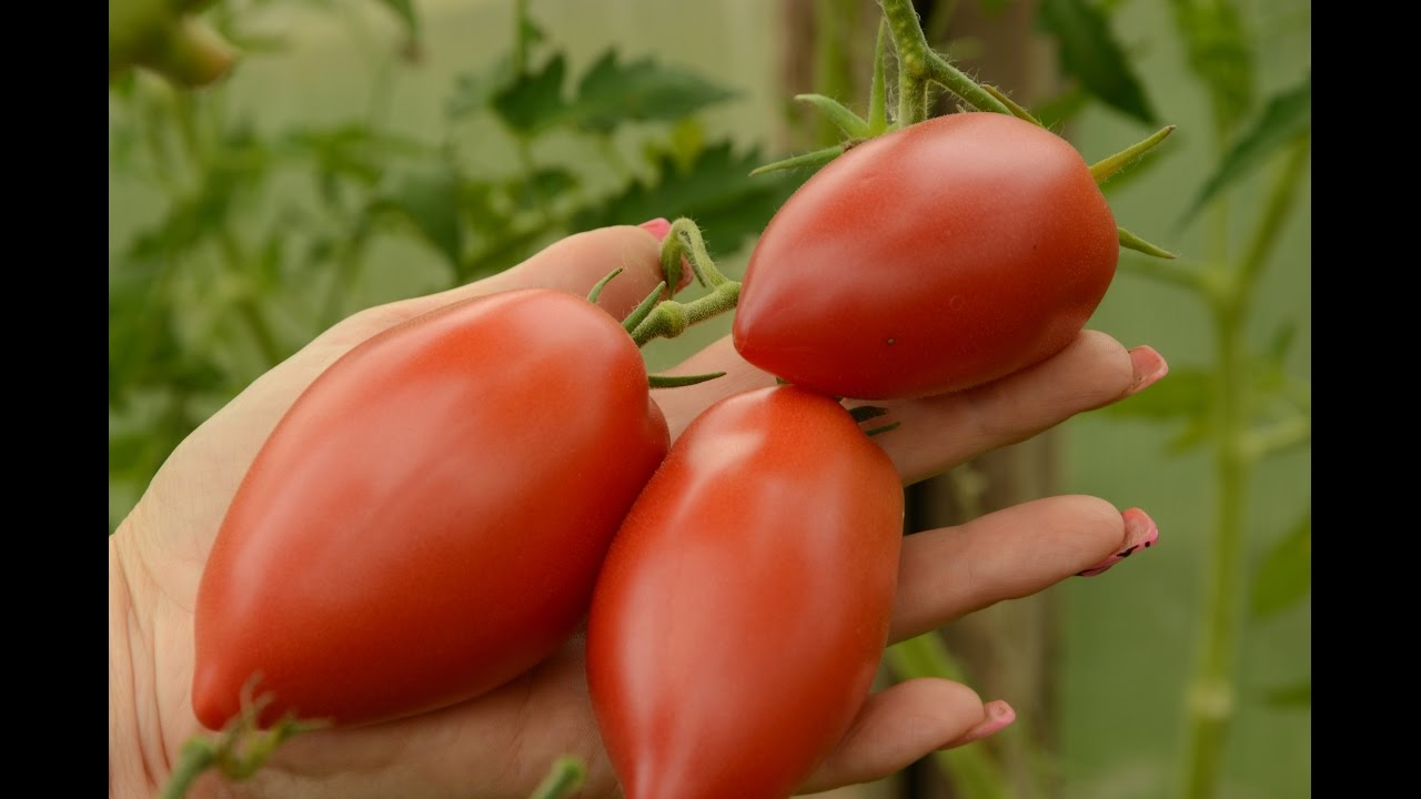 снайдер хотел томат хайпил отзывы фото жизни было