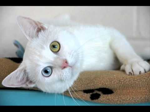 09e54771b5 Cats - Turkish Angora (Odd-eyed Cat Breed) - YouTube