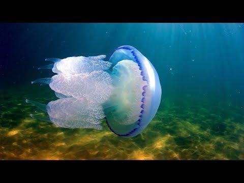 Вопрос: Медузы Черного моря у берега опасны или нет Почему?