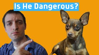 Are Miniature Pinschers Aggressive and Dangerous?