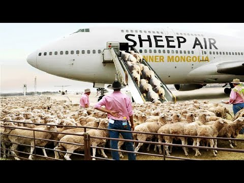 How to export millions of sheep, pig, cows - Modern Transport Technology by aircraft and big ship