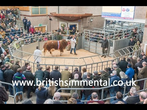 Simmental Bull Sale at Stirling February 15th 2016