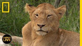 Safari Live - Day 133 | National Geographic