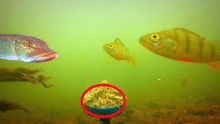 Реакция рыбы на ЖАРЕНЫЕ СЕМЕЧКИ! Подводная съемка