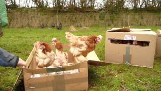Ex-battery hens see grass for the 1st time!