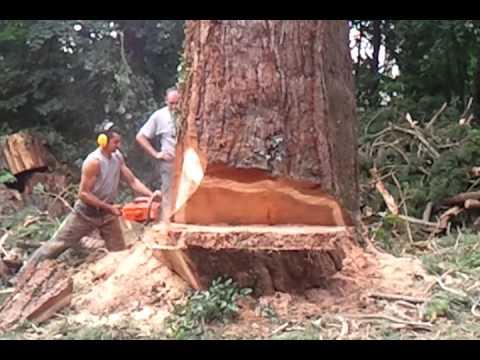 abattage arbre geant
