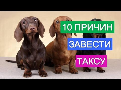Такса собака. Все о породе собак такса. - YouTube