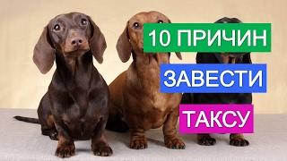 видео Собаки породы такса