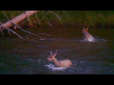 Predator vs prey   Yellowstone National Park   Coyote vs deer