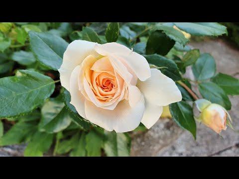 garden-of-roses---alle-blütenphasen