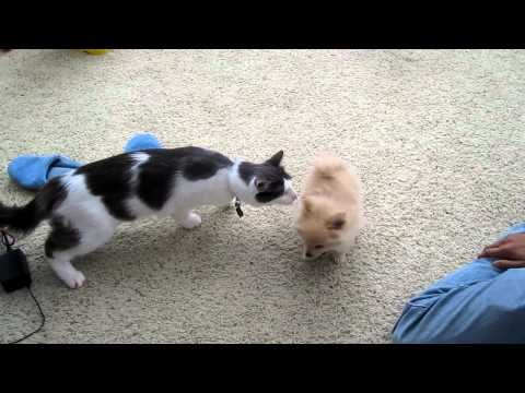 Cat Meets New Puppy For The First Time