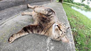 【横綱猫】ぽっちゃり体型のキジトラ猫が東屋の裏で雨上がりを待つ