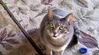 Кошачий Концерт. Котенок И Кошка Мяукает. Смешные Эпизоды.