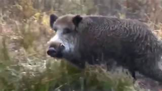 polowanie na dziki  - Top 10 Shots hunting , Drückjagd in Polen part 12