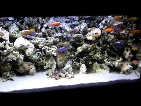 deux trois conseil pour aquarium cichlides africain cichlids african