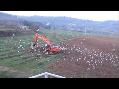 Gulls, digger and food