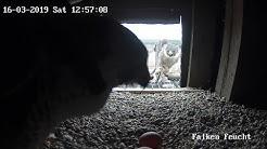 Wanderfalken Beuteübergabe Webcam Feucht bei Nürnberg - (Mit Ton)