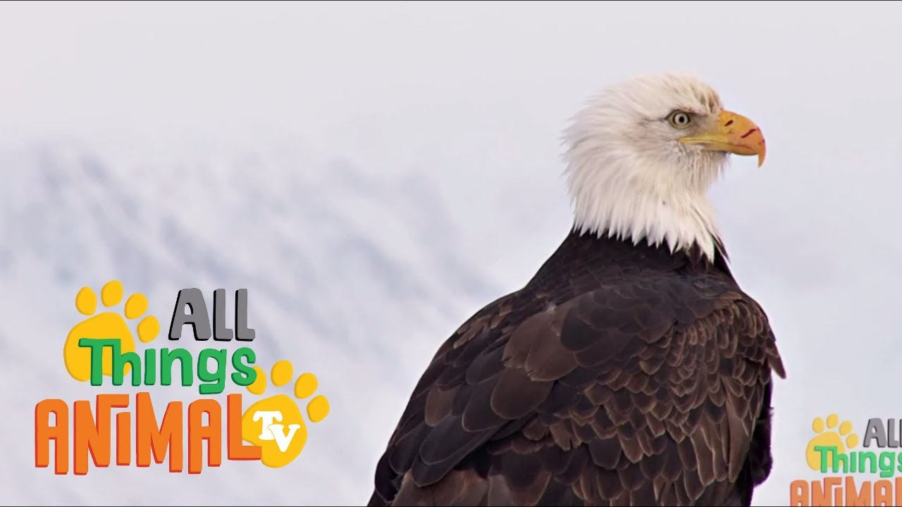 BALD EAGLE: Animals for children. Kids videos. Kindergarten | Preschool learning