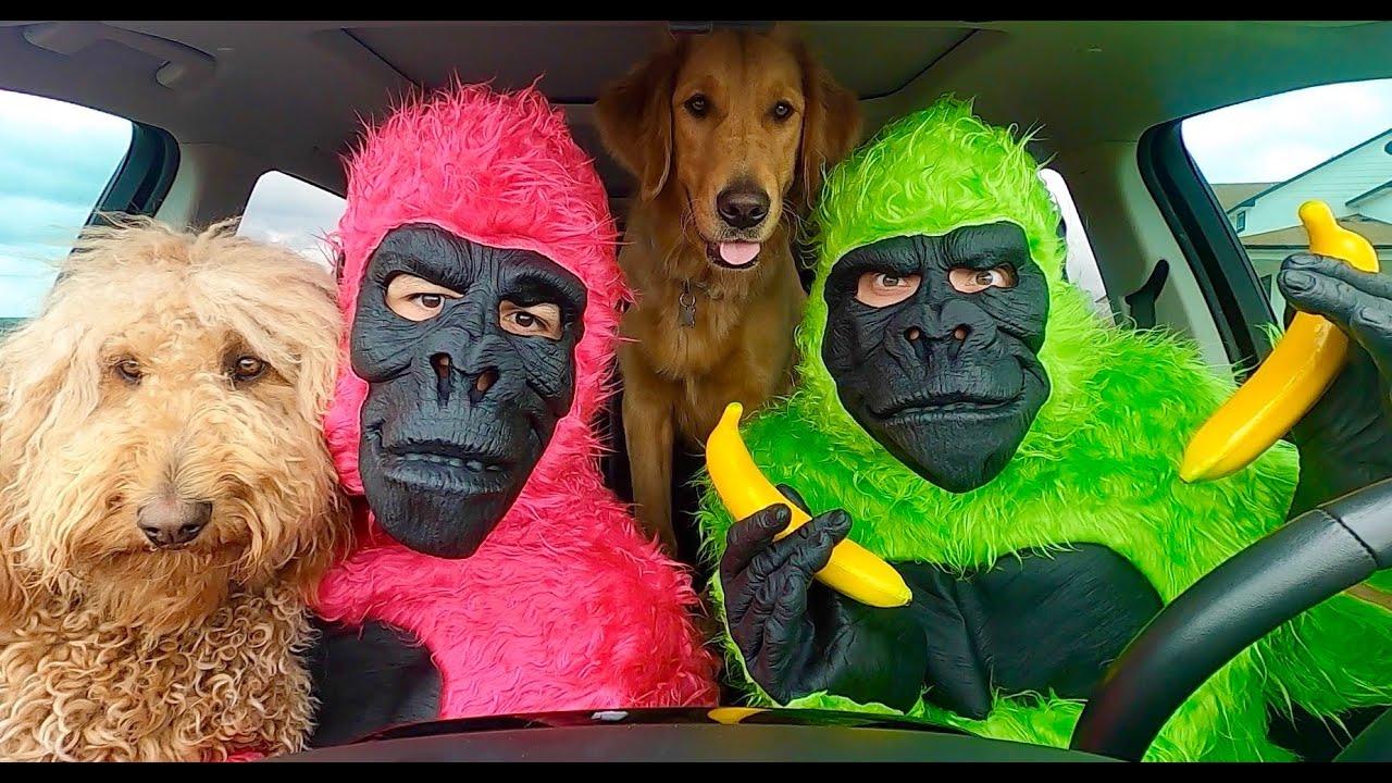 Funny Gorillas Surprise Puppies with Dancing Car Ride!