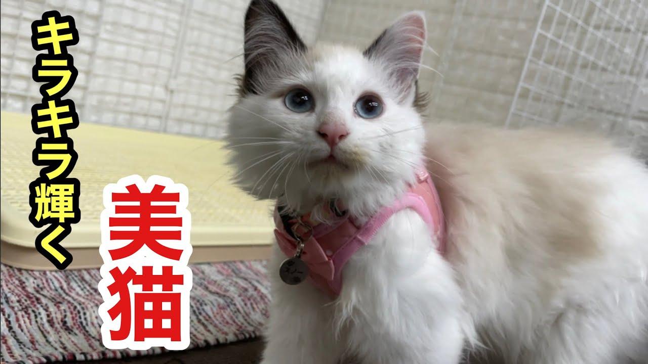 新ハーネスでキラキラ輝くような可愛い美猫になった子猫スノー