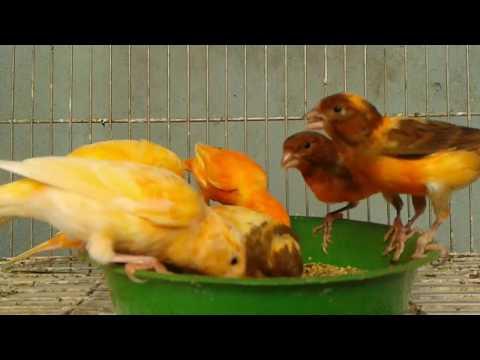 meus-canarios-belga-mais-de-perto