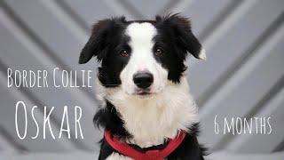 Dog tricks & fun by Border Collie Oskar (6 Months)