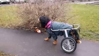 Собаки на колесах Animal Mobile  Дафна, бернский зенненхунд
